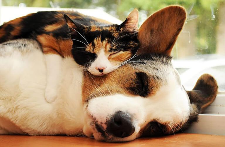 Thuốc mê Zoletil 50 ggiups chó mèo ngủ mê sâu
